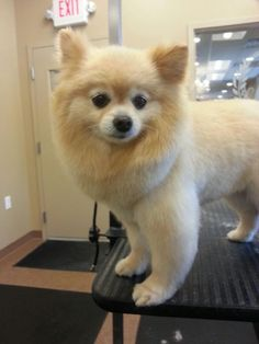 Thick and beautiful, the dense coats cover looks amazing on these little smarty dogs. The Pomeranian