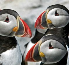 puffins-closeup-ralph-fahringer Bird Feathers, Penguins, Birds, Fish, Water, Animals, Gripe Water, Animales, Animaux