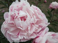 The beautiful French peony Rita. Hybridized by Dessert in 1922.