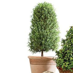 Try a Rosemary Topiary | Rosemary prefers to live outside but can last the winter indoors. | SouthernLiving.com