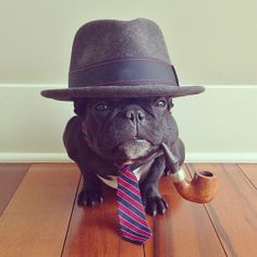 business french bulldog with his tobacco pipe