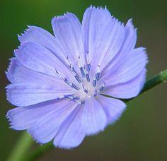 chicory violet flower