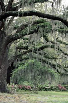 Beautiful Spanish moss, draped from mighty oaks