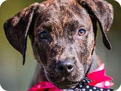 Tulsa, OK - Labrador Retriever/Pit Bull Terrier Mix. Meet PARIS, a puppy for adoption. http://www.adoptapet.com/pet/11755835-tulsa-oklahoma-labrador-retriever-mix