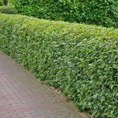 De beukhaag Fagus sylvatica Hij is zeer populair omdat de beukhaag zijn blad vast houdt in de winter. Bij kliko