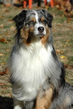 What a beauty!!!  Australian Shepherd. how could anyone resist this dog? He's perfect!