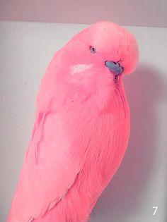 Pink Budgie Pink Budgie – no dye or minerals! Cute Birds, Pretty Birds, Beautiful Birds, Animals Beautiful, Budgie Parakeet, Budgies, Parrots, Parakeet Colors, Pink Animals