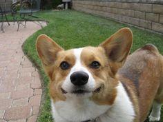 Corgis always smile.