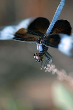 "blue dragonfly--Jesus, the tender, pitying Saviour, was God manifest in the flesh.""-"
