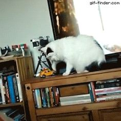 Farofa Cat | Gif Finder – Find and Share funny animated gifs