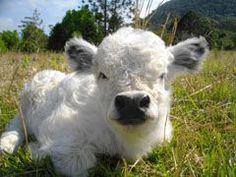 sooo cute!! mini moo cow
