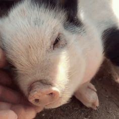 Caressed a little pig in his arms