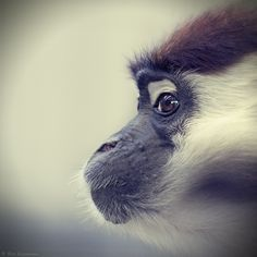 Curiousity.  Collared Mangabey.  by Bert Engelmann.