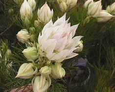 Serruria florida rosea Hot Pink Flowers, Cut Flowers, Paper Flowers, Florida Flowers, Winter Flowers, Garden Projects, Shrubs, Peonies, Flora