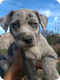 Pictures of Harrison~ADOPTED! a Catahoula Leopard Dog for adoption in Bettendorf, IA who needs a loving home. Mutt Puppies, Mutt Dog, Dog Cat, Poodle Puppies, Cutest Dog Ever, Cutest Dog Breeds, Cutest Dogs, Leopard Dog, Cute Animal Pictures