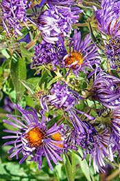 Treasure New England aster (Symphyotrichum novae-angliae 'Treasure') is a hardy addition to any midwestern garden. Large, pale violet flowers cover this large perennial throughout September and October.    Typically growing from 3 to 6 feet tall, this butterfly attractant tolerates clay soil and naturalizes well. Pinching back stems in early summer can help control plant height in the garden — those 6-foot-tall plants can topple, and will need staking once blooming begins in fall.