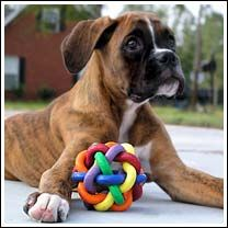 """Q: How many Boxers does it take to change a lightbulb?   A: """"Who cares, I can still play with my squeaky toy in the dark!"""""""