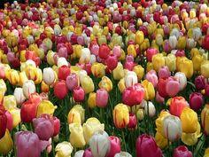 tulip mania - tulip mania poster - tulip mania painting