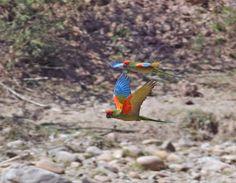 Red-fronted_Macaw_flight_1_Perereta_090827_1009.jpg (900×700)