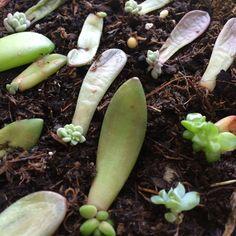 Comment bouturer des plantes succulentes