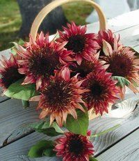 'Double Dandy' dwarf red sunflower is suitable for containers, too. Happy Flowers, Cut Flowers, Flower Petals, Auburn Red, Red Sunflowers, Amaranthus, Tree Seeds, Zinnias, Dahlias