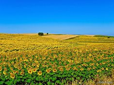 The sunflower field of Alentejo, Portugal Pictures Of Beautiful Places, Beautiful Places In The World, Visit Portugal, Portugal Travel, Sunflower Fields, Photo Art, Places To Visit, Outdoor, Fantastic Art