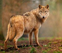 beautiful-wildlife:  Welcome to my forrestbyManuel Wolf