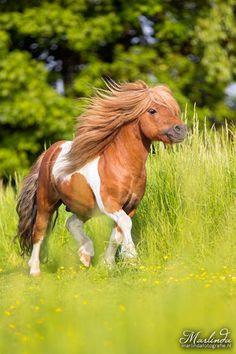Pinto/Paint Shetland pony stallion - title Joy - by Marlinda van der Spek
