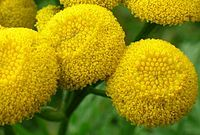 The tansy plant may be a weed, but does have certain benefits if planted in the right areas. Do not drink tansy tea. Common tansy in folklore and history. Plants, Tansy Plant, Planting Flowers, Perennial Herbs, Flowers, Edible Plants, Herbs, Medicinal Plants, Perennials