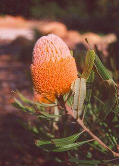 Banksia burdettii.