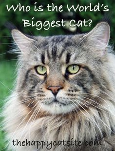 Maine Coon Cats Facts Maine Coons are one of the biggest domestic cat breeds - Welcome to our fun guide to large cat breeds. Giving you information on the biggest domestic cats and some things to consider when owning big house cats. Cat Facts Text, Dog Facts, Big House Cats, Big Cats, Kittens Cutest, Cats And Kittens, Large Cat Breeds, Domestic Cat Breeds, Lion
