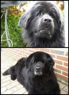 Newfies!!