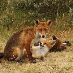 Red Foxes by Will de Kleijn   Zoom.nl