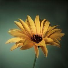 #Staudensonnenblume #Sonnenblume #floral #dekorativ #Fotografie #closeup #nah, Makro #Makrofotografie #Blüte #Blumen #Flower #flowers #nature #Natur #Naturliebhaber #naturelovers #detail #Schönheit #Textur #Photoshop #dekorativ  #fineart #beauty #beautyful #sun #sunflower