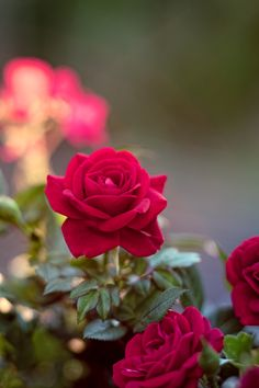 Find images and videos about beautiful, nature and flowers on We Heart It - the app to get lost in what you love. Beautiful Red Roses, Amazing Flowers, Love Flowers, My Flower, Fresh Flowers, Flower Power, Rose Images, Rose Pictures, Morning Rose