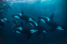 Pod of Orca