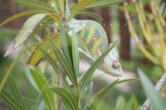 chameleon on a leander Chameleon, Travel Around, Nature, Plants, Animals, Animales, Animaux, Chameleons, Naturaleza