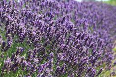 Lavender Fields Forever photo courtesy and copyright Anne Lamarche