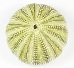 Oursins, Opercules, Balanes, Corail : Oursin Vert de Méditerranée   6 - 7 cm