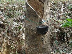 Rubber Plantation, Kerala