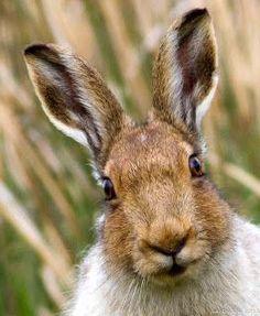 nicebirding: Best Hare Photos ever! Wild Rabbit, Rabbit Art, Beautiful Creatures, Animals Beautiful, Animals And Pets, Cute Animals, Rabbit Sculpture, Animal Magic, Tier Fotos