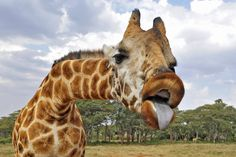 Amazing Animal Photography by Alex Tish - Giraffe