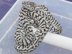 Axanthic zebra jaguar carpet python Cute Reptiles, Reptiles And Amphibians, Beautiful Creatures, Animals Beautiful, All About Snakes, Burmese Python, Baby Snakes, Colorful Snakes, Snake Art