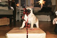 cutest pug unwrapping gift.. <3