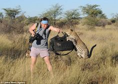 Leopard jumps up on top of Jeep while photographer is on safari ...