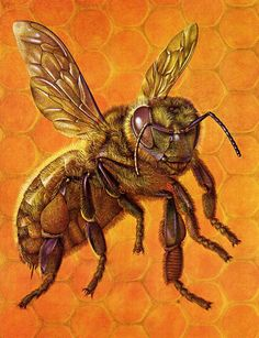 Bumble Bee Honeycomb Bee Worker Art Print 1962 Home Decor Insects Nature Wall Art