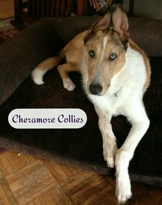 sable merle smooth collie, Cheramore Collies, Hood River, OR Smooth Collie, Cray Cray, River, Dog, Pets, Animals, Diy Dog, Animales, Animaux