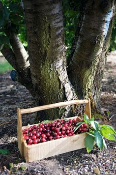 Many different varieties of cherries are grown near Ceres on the Klondyke Cherry Farm. Cherry Farm, Cherry Hill, South Afrika, Cherry Picking, Potager Garden, Kwazulu Natal, How To Speak French, Adventure Activities, Travel Planner