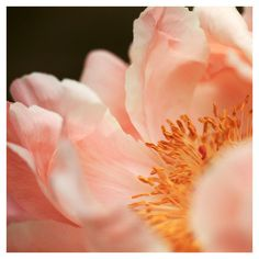 Paeonia #3 - Alicia Bock Photography