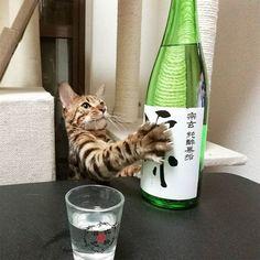 Drink. #cat #catsofinstagram #cats #catstagram #instacat #catlover #catoftheday #bengal #bengalcat #oz #ねこ #猫 #ねこ部 #ねこすたぐらむ #猫部 #宗玄 #純酔無垢